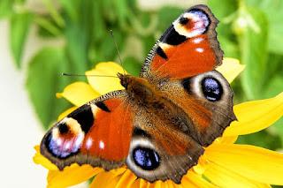 vulva con forma de mariposa