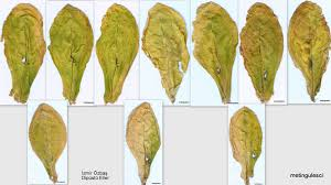 Reconstituted Tobacco Leaf