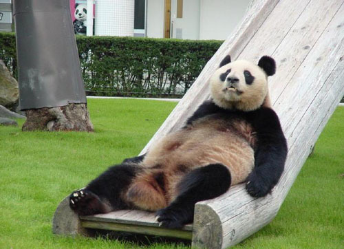 Funny Panda Pictures-Images 2012   Funny And Cute Animals