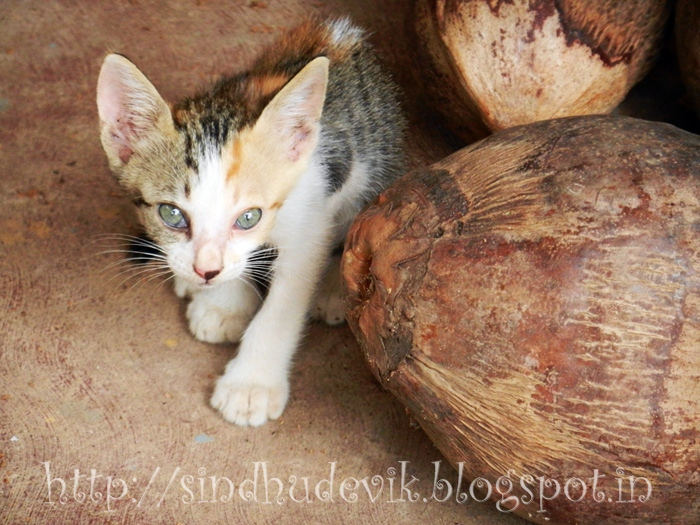 A kitten posing with a forelimb forward and with fear in eyes. Background of dry coconuts is what makes this photograph special.