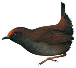 Formicarius rufifrons