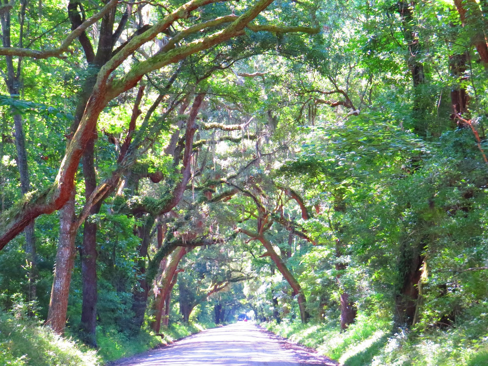 From Highway 174, it's still a few miles of dirt road driving to the Botany  Bay entrance. Along the way you will be treated to a beautiful avenue of  (live) ...