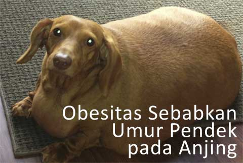 Anjing Kegemukan Memiliki Usia yang Lebih Pendek