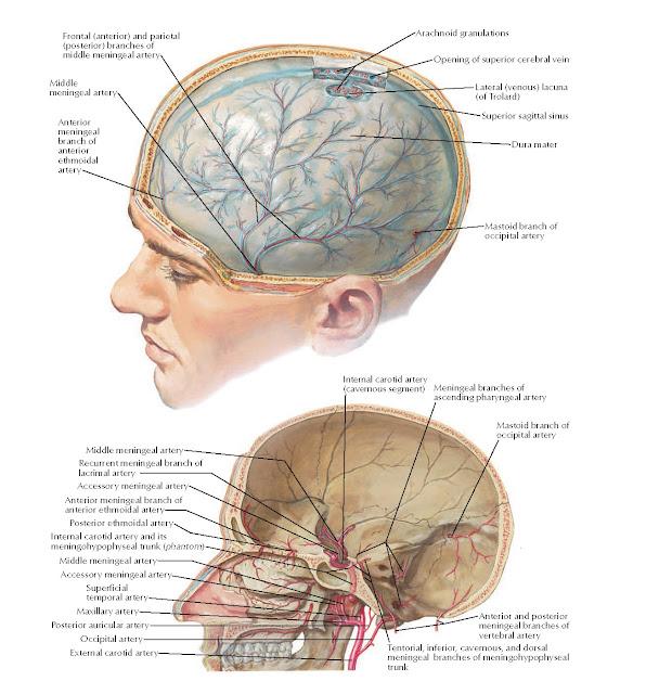 Meningeal Arteries Anatomy