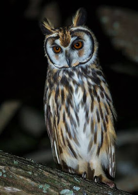 Owl - Animals that start with O
