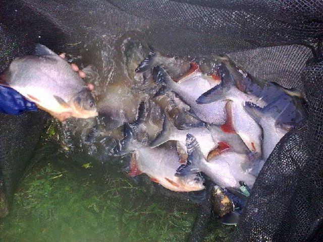 Budidaya Ikan Bawal Air Tenang