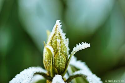 Geschlossene Knospe im Winter mit Eis bedeckt, Canon EF-S 60mm f/2.8 Macro