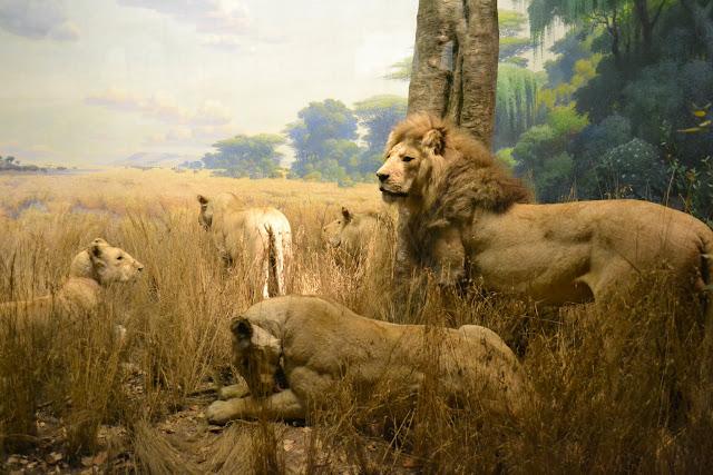 Леви. Американський музей природознавства, Нью-Йорк(American Museum of Natural History, NYC)