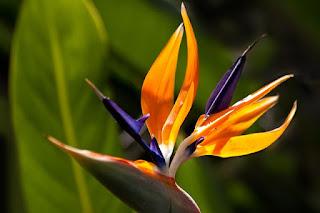 makna bunga cendrawasih