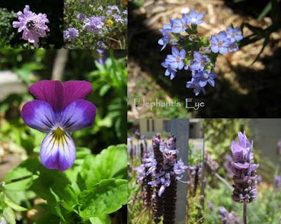 Scabiosa, Californian Gilia, Anchusa capensis heartsease, Plectranthus, lavender