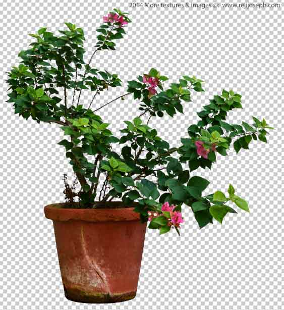 PNG Bougainvillea Garden Plant Texture 00001