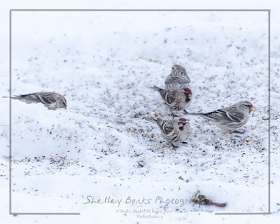 Small Flock of Female Common Redpolls. © Copyright, Shelley Banks, all rights reserved