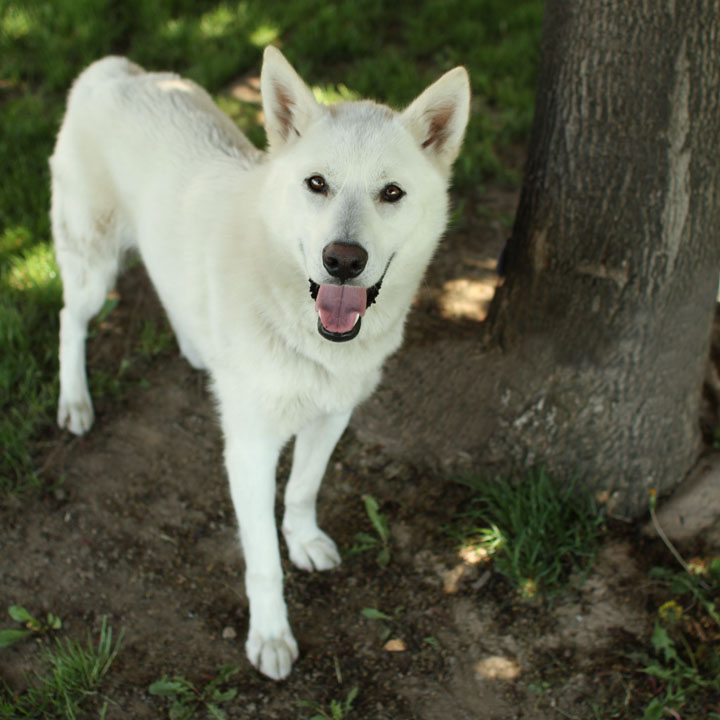 Polar Siberian Husky Mix