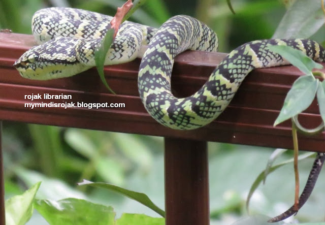 Wagler's Pit Viper in Hindhede Park
