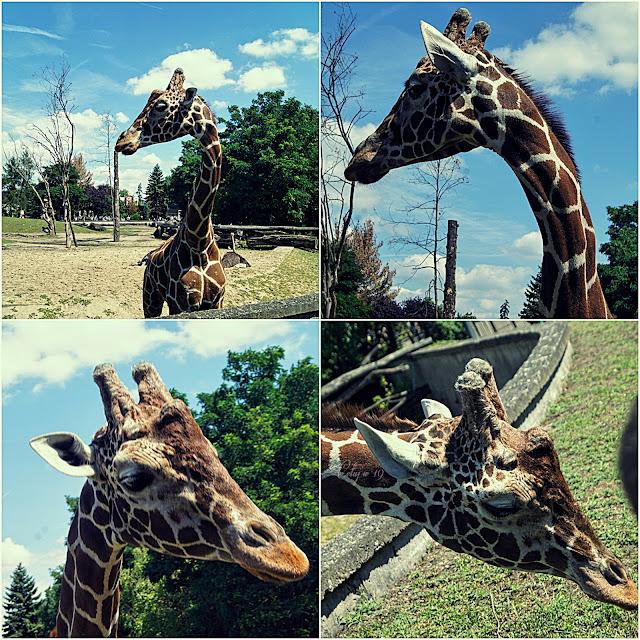 Kolaż zdjęć z żyrafą