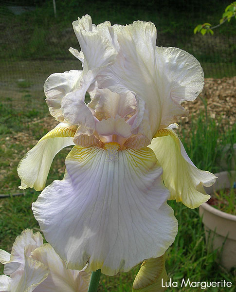 World of Irises: Iris Classics: 'Lula Marguerite'