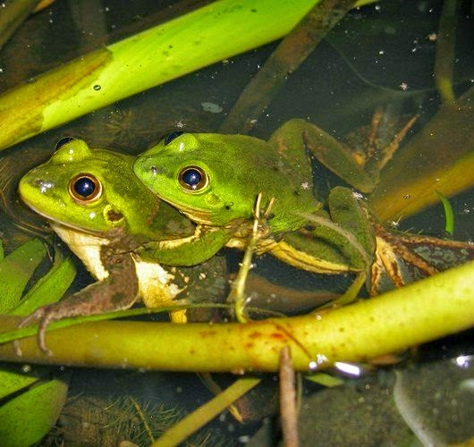 Paradoxical frogs breeding