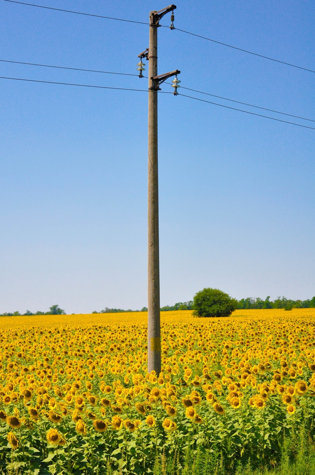 An electricity pilon in a Sunflower field, Varna, Bulgaria