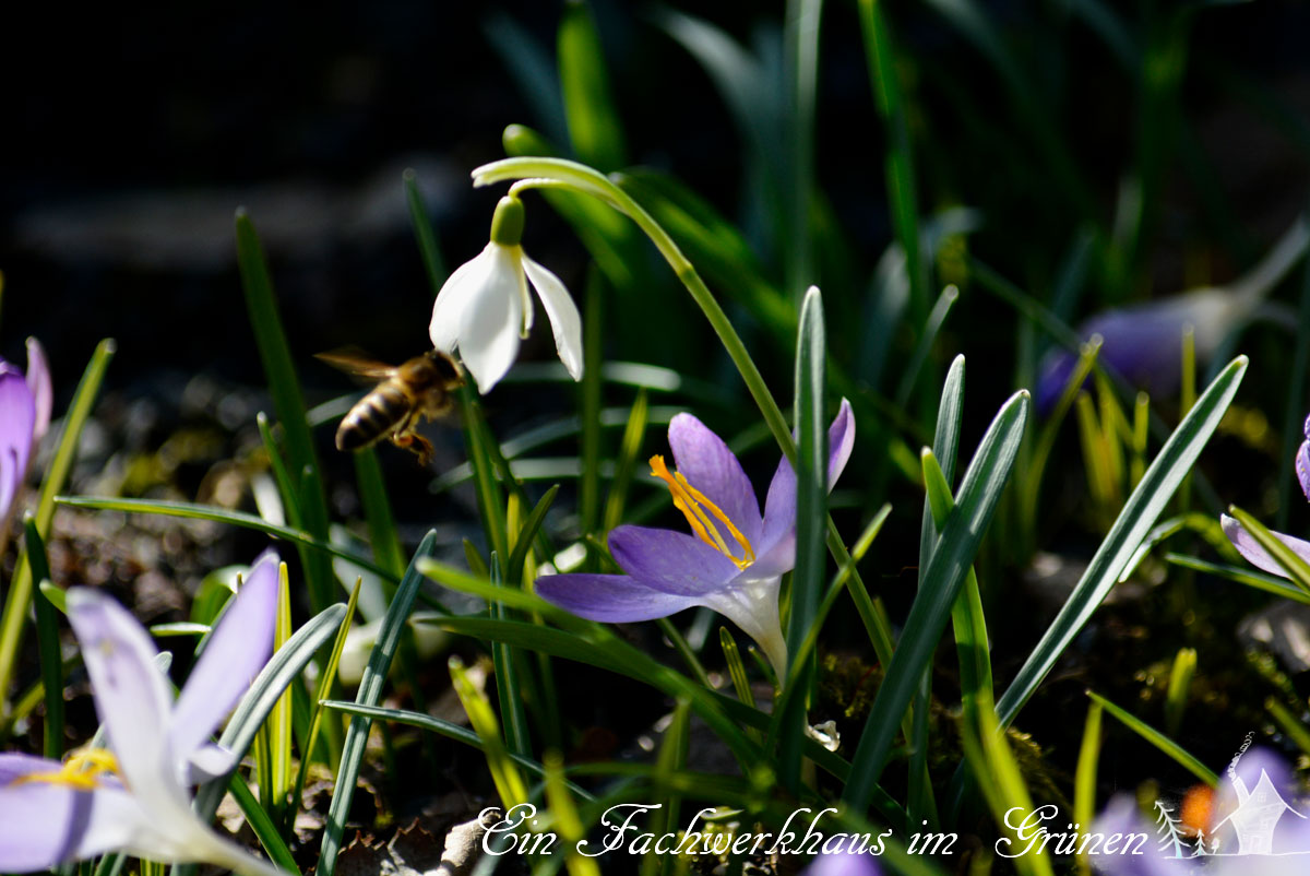 Gartenglück, Bienen, Gartenblog, Krokus, Schneeglöckchen