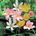 Rain Lily Bulbs | Zephyranthes Bulbs for Sale ( English )
