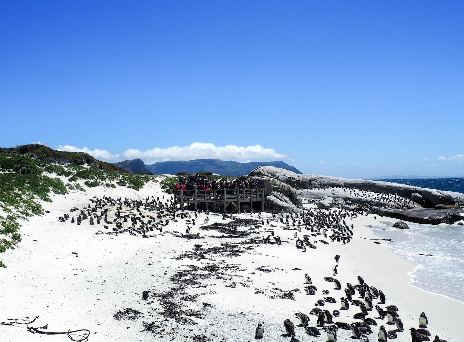 pingviini penguin kapkaupunki cape town etelä-afrikka south africa simon's town