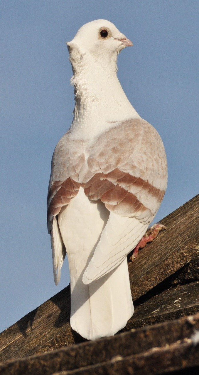 A dove on top of a house roof.