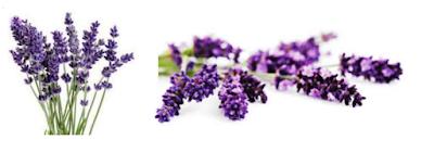 Cara Budidaya Bunga Lavender Dengan Mudah