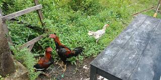Ayam Petelur Usaha di Desa Yang Potensial