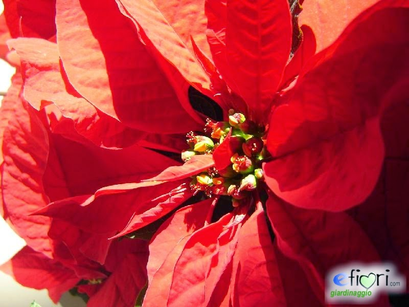 La Stella Di Natale E Velenosa.Blog Di Clo Stella Di Natale
