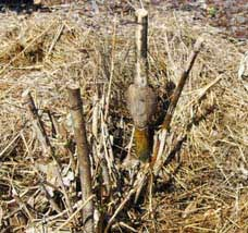 Fertilizing bamboo with worm castings
