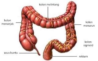 bagian usus, usus kiri, usus tengah, usus turu, usus buntu