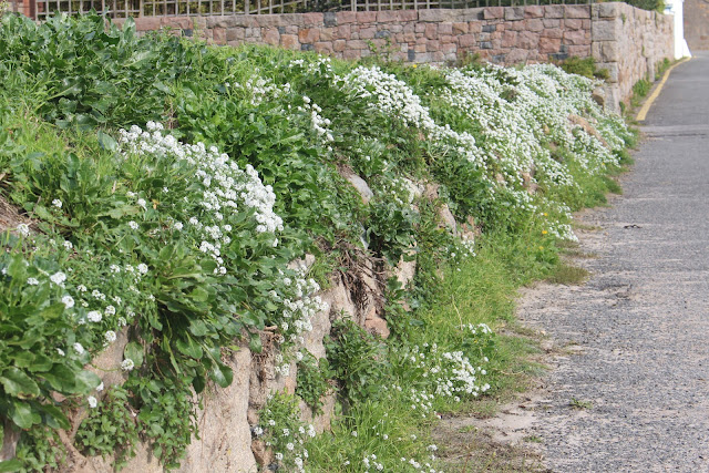 The garden interloper - alyssum - has gained a strong foothold