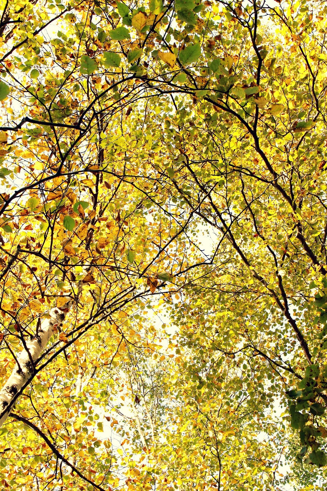 Birch Trees Fall