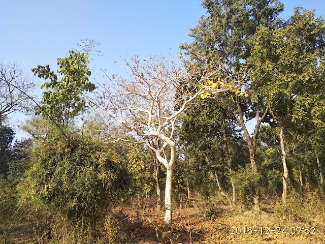 BHUTNI TREE!
