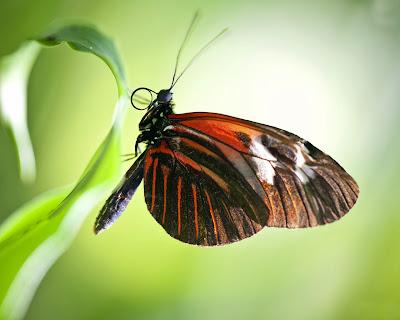 butterfly-wallpaper