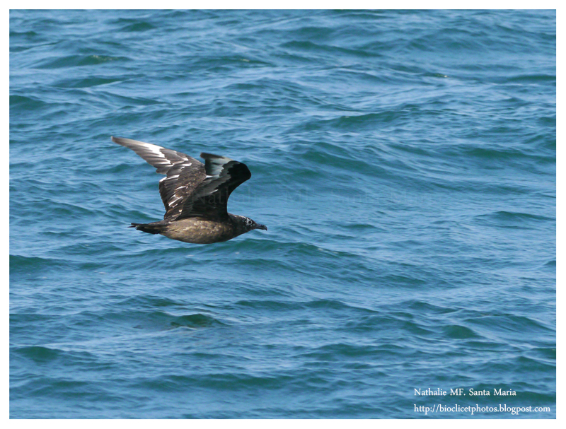 https://bioclicetphotos.blogspot.fr/search/label/Grand%20labbe%20-%20Stercorarius%20skua
