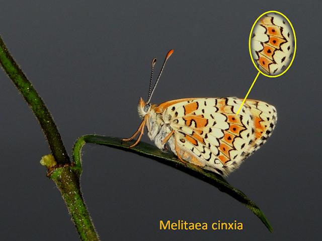 Reverso de Melitaea cinxia