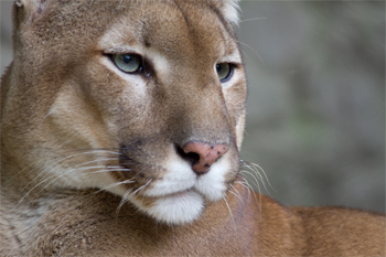 image of a cougar