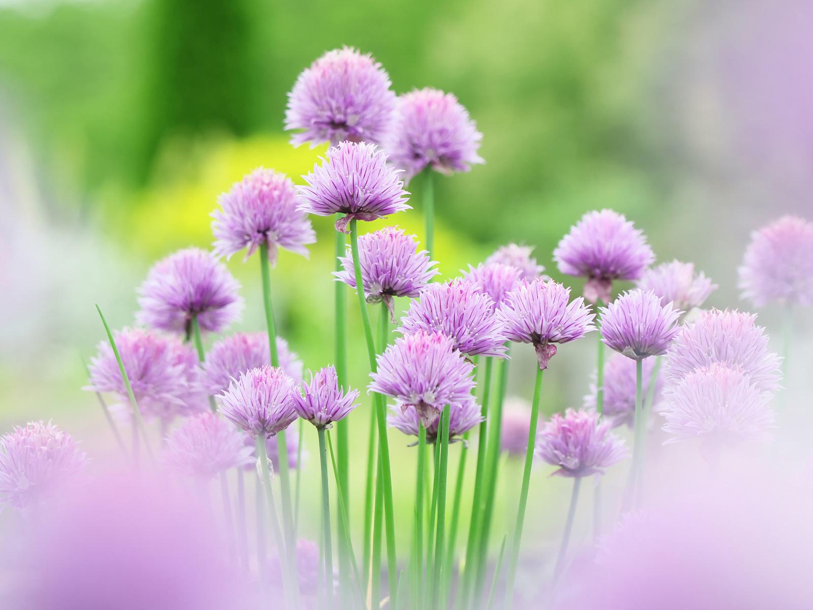 Fondo Primavera álbum Classic Flores Violetas: Imagenes De Flores Moradas
