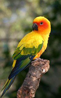 Sun Conure (Aratinga solstitialis)   Our World's 10 Beautiful and Colorful Birds