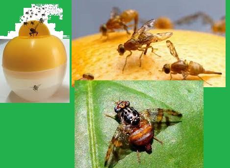 México: Patentan un dispositivo que atrapa y anula la mosca de la fruta