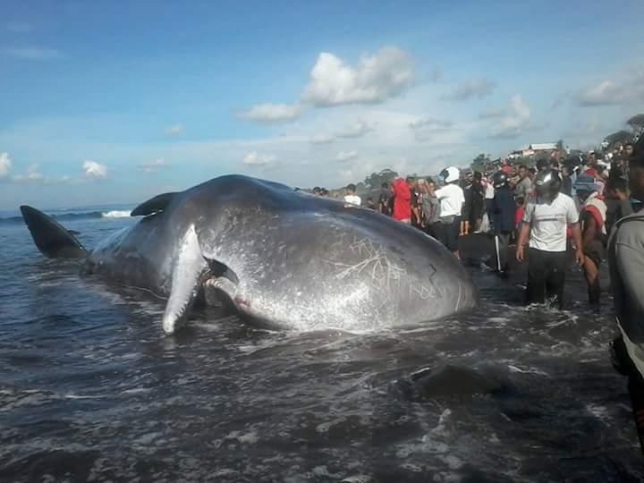 Ikan Paus Kepala Kotak Terdampar di Pantai Batu Tumpeng Klungkung