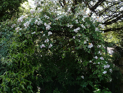 """Rosa """"Wedding day"""" covering an arbour"""