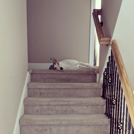 image of Dudley the Greyhound lying at the top of the stairs, looking at me, with one ear poking up