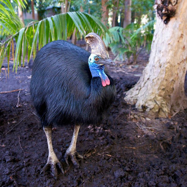 The answer is the Cassowary – and not only is it endangered but is also classified as the world's most dangerous bird.