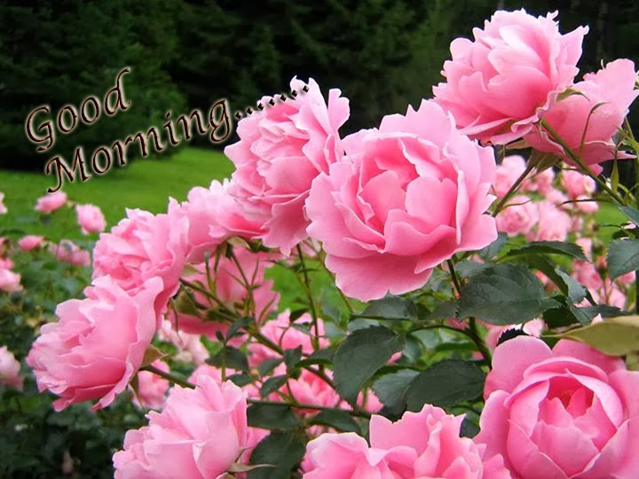 good morning with lovely roses