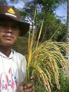 aplikasi maxigrow pada padi di cianjur selatan