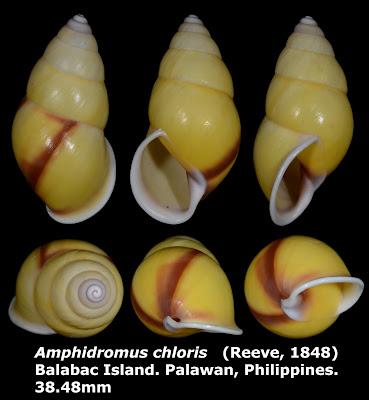 Amphidromus chloris 38.48mm