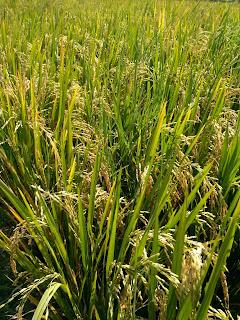 Cara menanam padi dan merawat tanaman padi yang benar