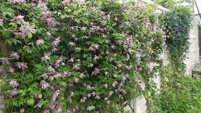 цветы княжики
